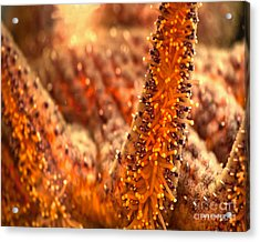 Starfish Stretch Acrylic Print by Artist and Photographer Laura Wrede