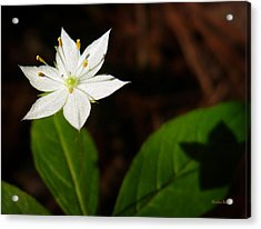 Starflower Acrylic Print by Christina Rollo