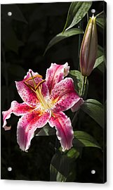 Stargazer Bloom And Bud Acrylic Print
