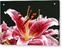 Acrylic Print featuring the photograph Stargazer Lily by Maria Janicki