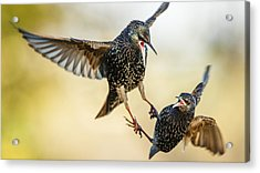 Starling Aerial Battle Acrylic Print by Izzy Standbridge