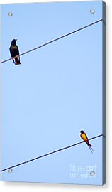 Starling And Swallow Acrylic Print by Tim Holt