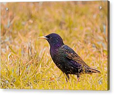 Starling On Lime Grass Acrylic Print by Bill Tiepelman