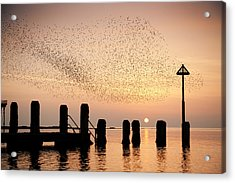 Starlings At Sunset  Aberystwyth Acrylic Print