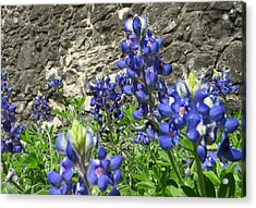 Acrylic Print featuring the photograph State Flower Of Texas - Bluebonnets by Ella Kaye Dickey