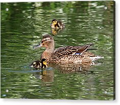 Staying Close To Mom Acrylic Print by Gill Billington