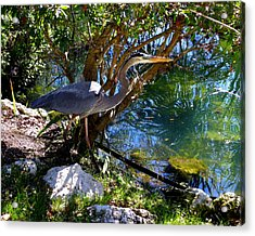 Stealthy Great Blue Heron Acrylic Print