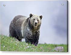 Steamboat Grizzly Acrylic Print
