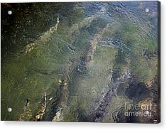 Steelhead Abstract 1 Acrylic Print