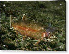 Steelhead Trout Spawning Acrylic Print