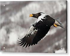 Stellar's Sea Eagle Acrylic Print