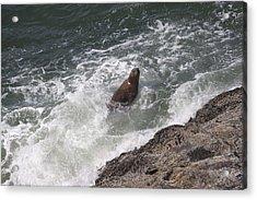 Steller Sea Lion - 0018 Acrylic Print