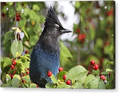 Steller's Jay And Red Berries Acrylic Print