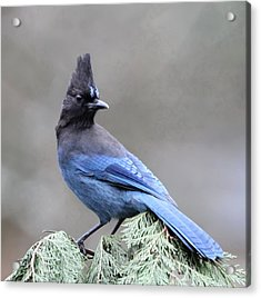 Steller's Jay Acrylic Print by Angie Vogel