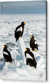 Steller's Sea Eagles On Sea Ice Acrylic Print