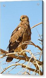 Steppe Eagle (aquila Nipalensis) Acrylic Print by Photostock-israel