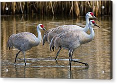 Steppin Out Acrylic Print by Randy Hall