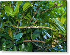 Stick Insect Acrylic Print by Philippe Psaila/science Photo Library