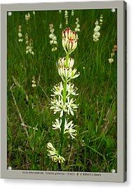 sticky false asphodel - Tofieldia glutinosa - 10JL01 Acrylic Print by Robert G Mears