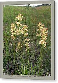 sticky false asphodel - Tofieldia glutinosa - 11JL15-1 Acrylic Print by Robert G Mears