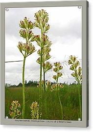 sticky false asphodel - Tofieldia glutinosa - 11JL15-2 Acrylic Print by Robert G Mears