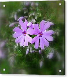 Sticky Phlox Acrylic Print by Nick Kloepping