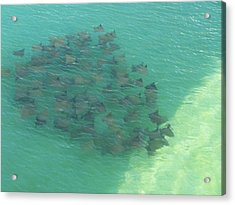 Acrylic Print featuring the photograph Stingray B by Michele Kaiser