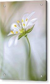 Stitchwort Soft Acrylic Print