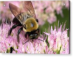 Acrylic Print featuring the photograph Stone Mountain Bumble Bee by Gene Walls