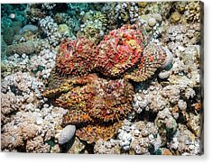 Stonefish Mating Congregation Acrylic Print by Georgette Douwma