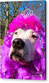 Stop Bsl Officer Do You Hate Me Because I'm A Pit Bull Or Cause I'm A Dude Wearing A Pink Tiara? Acrylic Print by Q's House of Art ArtandFinePhotography