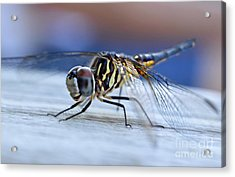 Stop By Tiger Dragon Fly Acrylic Print by Peggy Franz