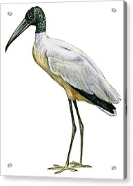 Stork Acrylic Print by Anonymous