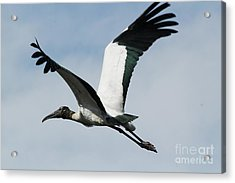 Stork In Flight Acrylic Print by Theresa Willingham