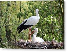Storks Nesting Acrylic Print