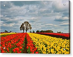 Storm Over Wooden Shoe Tulip Farm Acrylic Print