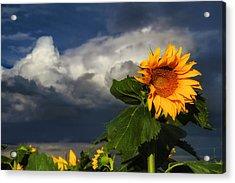 Stormy Sunflower Acrylic Print