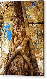 Strangler Fig Acrylic Print