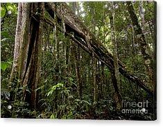 Strangler Fig In Amazon Rainforest Acrylic Print