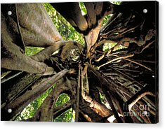 Strangler Fig Root Cage Acrylic Print