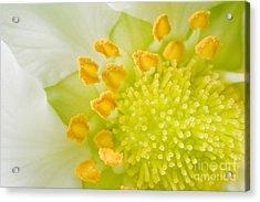 Strawberry Blossom Acrylic Print by Iris Richardson