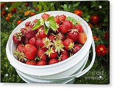 Strawberry Harvest Acrylic Print by Elena Elisseeva