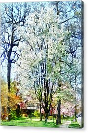 Street With White Flowering Trees Acrylic Print by Susan Savad
