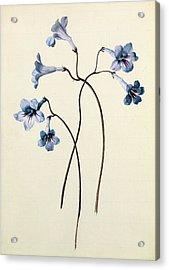 Streptocarpus Acrylic Print by German School