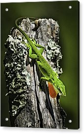 Stressed Anole Acrylic Print