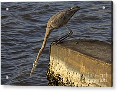 Acrylic Print featuring the photograph Stretch - Great Blue Heron by Meg Rousher
