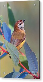 Striated Thornbill Acrylic Print by Bill  Robinson