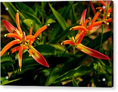 Striking Color Of Heliconia Flowers. Acrylic Print by Siti  Syuhada