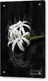 Acrylic Print featuring the photograph String Lily #1 by Paul Rebmann