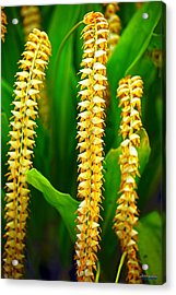 Acrylic Print featuring the photograph Strings Of Dendrochilum Orchids by Aloha Art
